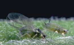 Aphids with and without wings (Aphis Gossypii)